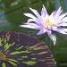 Water Lily. Kew Gardens. by dulciknit