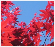 7th Apr 2011 - Red leaves
