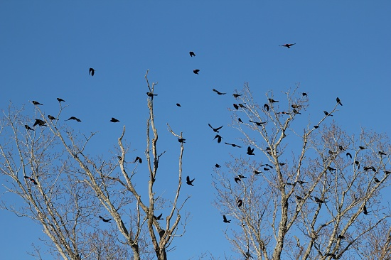 Grackles and Red-winged Blackbirds by mandyj92