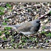 Dark Eyed Junco (female) by bluemoon