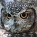 Spotted Eagle-Owl by eleanor