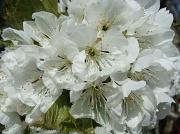 10th Apr 2011 - Cherry Blossom
