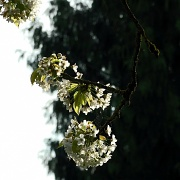 10th Apr 2011 - Future cherries #2