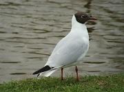 11th Apr 2011 - Black-headed gull