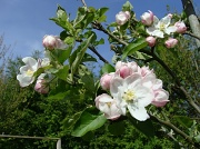 12th Apr 2011 - Apple blossom on the allotment