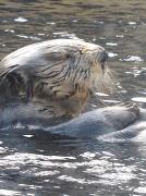 9th Apr 2011 - Sea Otter