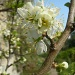 plum blossom by miranda