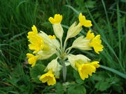 14th Apr 2011 - Cowslips