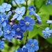 Omphalodes verna by snowy