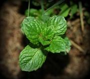 15th Apr 2011 - Fresh Mint Tea