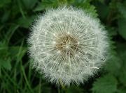 15th Apr 2011 - Dandelion seed head