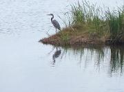 15th Apr 2011 - Blue heron