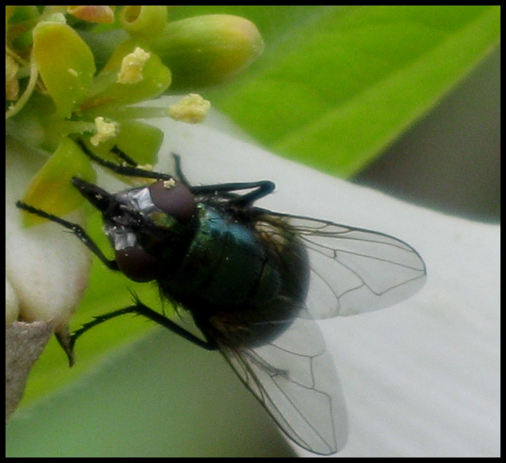 The Fly! by cjwhite
