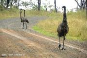 19th Apr 2011 - Emu With Chicks