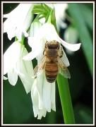 19th Apr 2011 - Bee