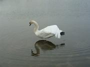 21st Apr 2011 - Swan Lake?