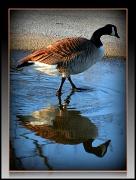 22nd Apr 2011 - Goose esooG