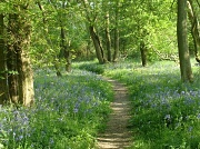 22nd Apr 2011 - Bluebells in Brampton Wood