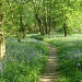 Bluebells in Brampton Wood by busylady