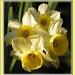 Daffodils by judithdeacon