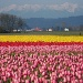 4-23-11 Fields of Color by shantwin