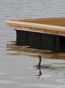 """23rd Apr 2011 - """"D"""" as in duck by the dock"""