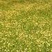 golden field by pyrrhula