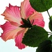 Big pink flower. by maggie2