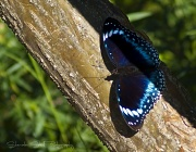 25th Apr 2011 - Blue-banded Eggfly (Hypolimnas alimena)