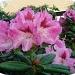 rhododendron by gijsje