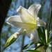 Easter Lily by hjbenson