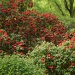 Rhododendrons. by snowy
