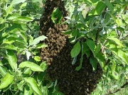 25th Apr 2011 - Swarm of Bees