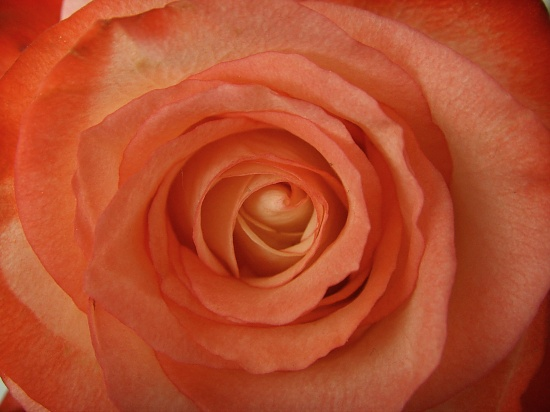 Rose by berend