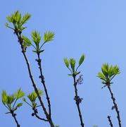 21st Apr 2011 - Fresh leaves
