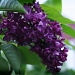 Lilacs at Last! by svestdonley