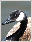 """26th Apr 2011 - """"G"""" as in Goose"""