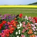 200 Tulips  (and more)... by geertje