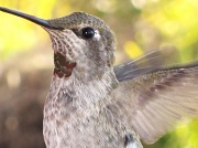 """27th Apr 2011 - """"H"""" is for Hummingbird"""