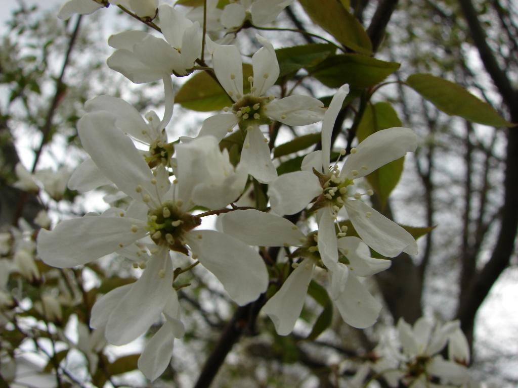 Serviceberry by brillomick