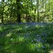 Bluebell  woods by snowy