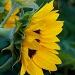 Sunflower by eudora