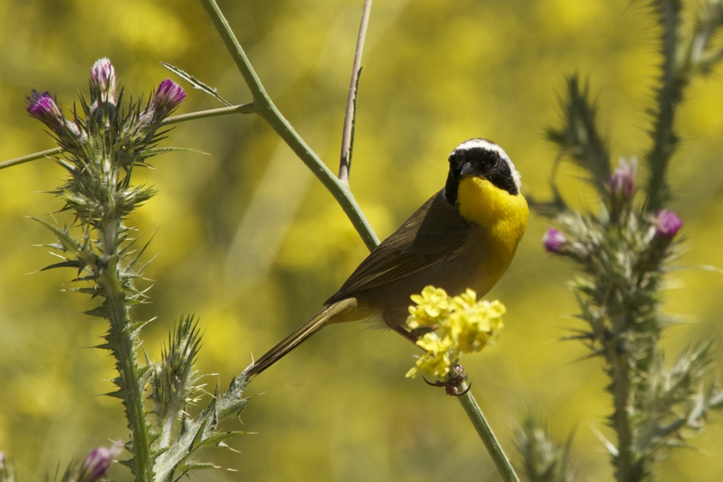 Common Yellowthroat by robv