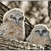 Baby Great Horned Owls.... by pixelchix