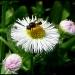 Buzzing Miss Daisy by cjwhite