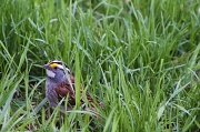 2nd May 2011 - White-throated sparrow