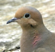 2nd May 2011 - Mourning Dove