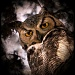 Mama Great Horned Owl by pixelchix