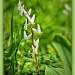 Dutchman's Breeches by bluemoon
