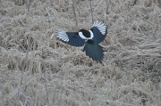 4th May 2011 - magpie